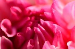 pink för dalia makrofoto Royaltyfria Bilder