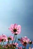 pink för kosmosfältblomma Arkivfoton