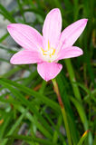 Pink Fairy Lily Stock Photography