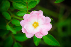 Pink fairy rose. Beautiful of pink fairy rose with green background Royalty Free Stock Images