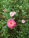 Pink Fairy Rose. Blossom and foliage Stock Image