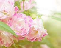 Pink Fairy Rose Stock Photo