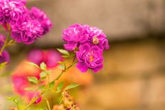 The pink fairy rose flower in autumn Royalty Free Stock Photos