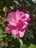 Late bloomer. Pink fall flower Stock Images