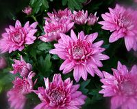 Pink Fall Flowers (1) royalty free stock photos
