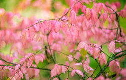 Pink fall leaves Stock Photography