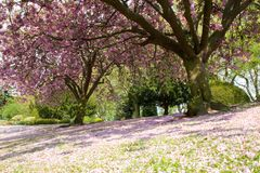 Pink Fallen Tree Blossom. Tree and park covered in pink blossom with green grass in the foreground Royalty Free Stock Photos