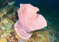 Pink fan coral on coral reef in Raja Ampat. Big pink fan coral on coral reef in Raja Ampat, Papua Barat, Indonesia royalty free stock photography