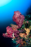 Pink fan corals. Delicate colorful soft corals on a deep reef wall royalty free stock photo