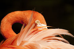 Pink feathers. Bright and detailed red flamingo close-up with vibrant feathers Royalty Free Stock Image