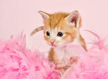 Pink feathers surrounding a ginder kitten Stock Images