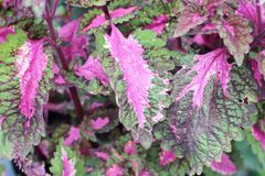 Pink fern with the nature Royalty Free Stock Image