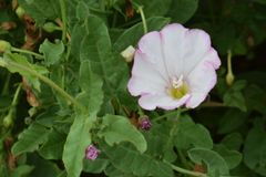 Pink Field Bindweed Wildflower Stock Photo
