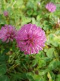 Pink field flower royalty free stock image
