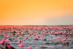 Pink Field Pink Water Lily on lake Stock Photo