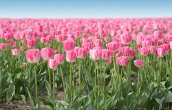 Pink field of Tulips Royalty Free Stock Images