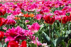 A pink field of tulips. In a sunny day royalty free stock photos