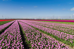 Pink field of tulips and wind turbines Royalty Free Stock Photo
