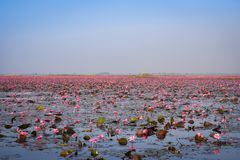 Landscape field Pink Water Lily lotus Royalty Free Stock Images