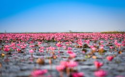 Pink Field Pink Water Lily on lake Stock Photos