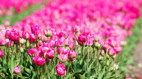 Pink fields Stock Image