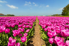 Pink fields Royalty Free Stock Image