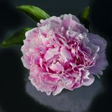 Pink filled peony, beautiful peony, overlapping petals Royalty Free Stock Photos