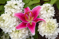 Pink fire lily and white hydrangea paniculata Royalty Free Stock Images