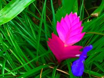 Pink Fire. Tillandsia cyanea plant  ( family: Bromeliaceae Royalty Free Stock Photo