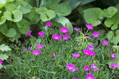 Pink Firewitch Dianthus flowers. In a garden Royalty Free Stock Images