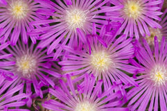 Pink firework flowers. In the spring stock image