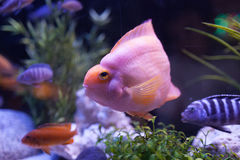 Pink fish Royalty Free Stock Photos