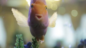 Pink fish in the aquarium stock footage
