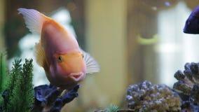 Pink fish in the aquarium stock video