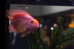 Pink fish Stock Image