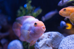 Pink fish Royalty Free Stock Photography