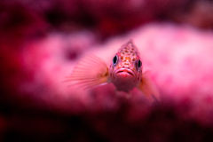 Pink Fish. Small Pink Fish in Reef royalty free stock images