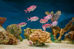 Pink fishes in aquarium Stock Photo