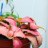 Pink Fittonia foliage Royalty Free Stock Photography