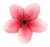 A pink five-petal flower Stock Image