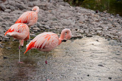 Pink Flamencos in Bahrain Island Royalty Free Stock Images