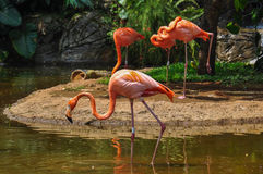 Pink Flamencos at the zoo, Cali, Colombia.  Stock Photos