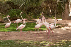 The pink flamengo in Zoo Royalty Free Stock Photos