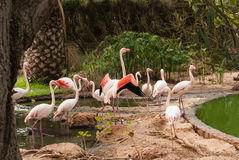 The pink flamengo in Zoo Stock Photography