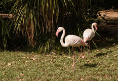 The pink flamengo in Zoo Stock Image