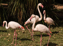 The pink flamengo in Zoo Stock Photo