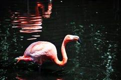 Pink flamingo Royalty Free Stock Image