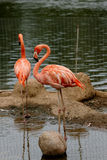 Pink flamingo. Pink flamingos, are photographed in a zoo Royalty Free Stock Photos