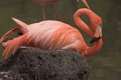 Pink Flamingo. Close-up View of a Pink Flamingo royalty free stock photography