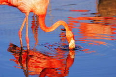 Pink flamingo. In water in sunshine Stock Image